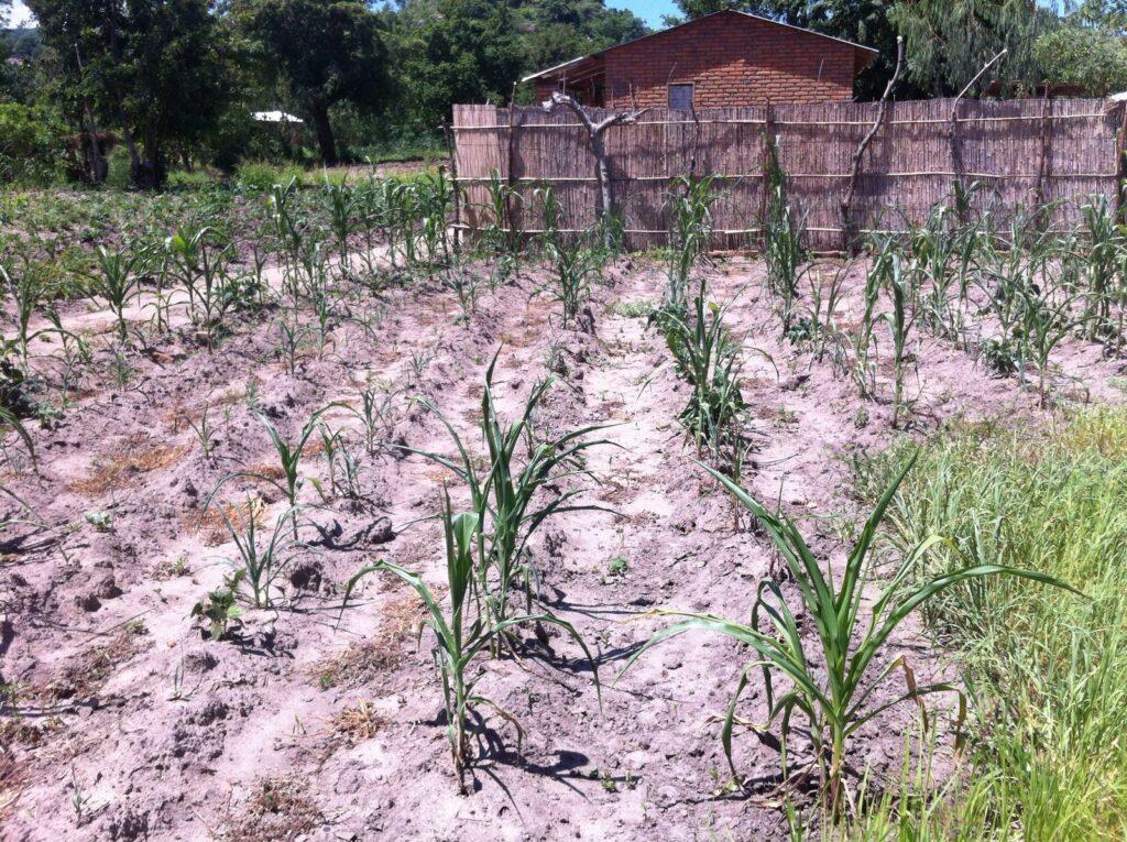 Kleine maisplantjes tijdens mislukte oogst