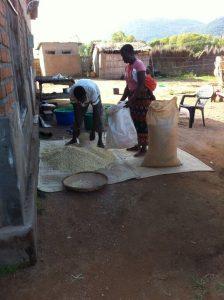 Mais wordt in de zakken gedaan